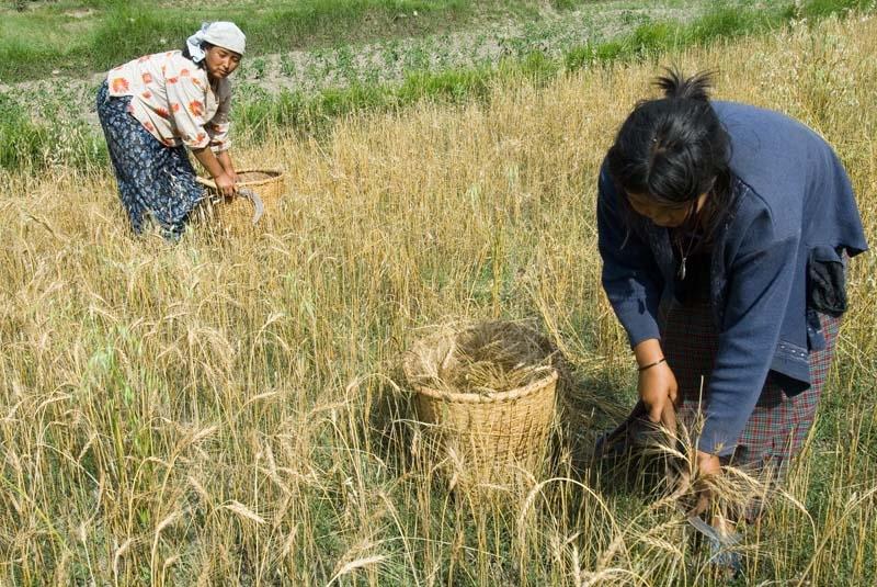 Farming near Punakha