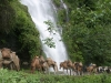 Ponies and cows at waterfall